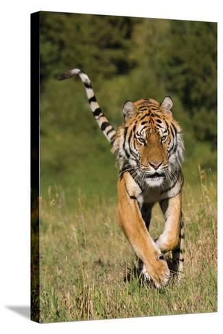 Tiger Run-Susann Parker-Stretched Canvas Print