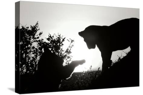 Lion Cub Morning BW-Susann Parker-Stretched Canvas Print