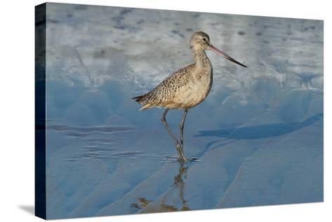 Shore Bird 1-Lee Peterson-Stretched Canvas Print