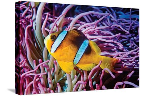Fish 2-Lee Peterson-Stretched Canvas Print