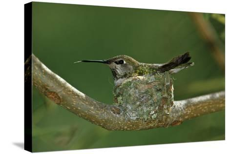 Hummingbird 2-Lee Peterson-Stretched Canvas Print