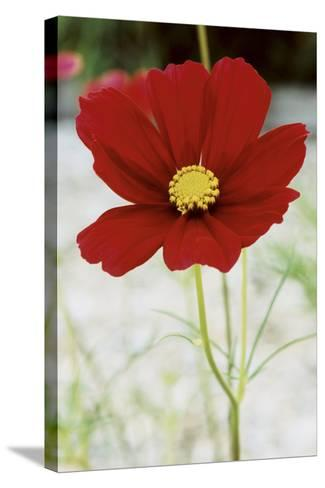 Red Cosmos I-Bob Stefko-Stretched Canvas Print