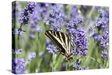 Lavender and Butterfly II-Dana Styber-Stretched Canvas Print