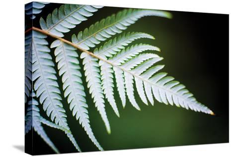 Silver Tree Fern II-Bob Stefko-Stretched Canvas Print