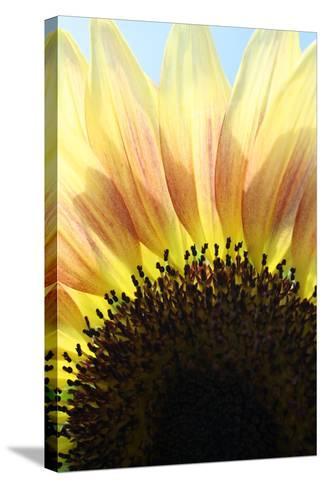 Sunflower V-Tammy Putman-Stretched Canvas Print