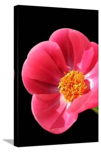 Pink Peony I-Tammy Putman-Stretched Canvas Print