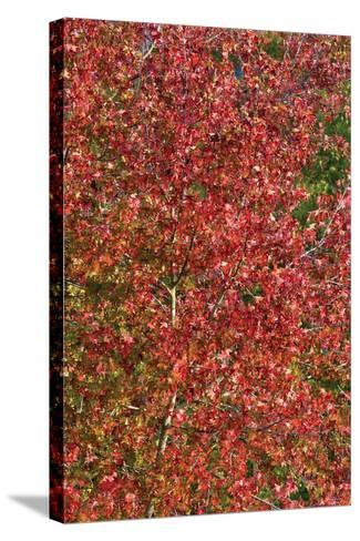 Fall Leaves 2-Lee Peterson-Stretched Canvas Print