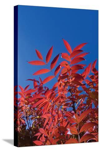 Fall Leaves 3-Lee Peterson-Stretched Canvas Print