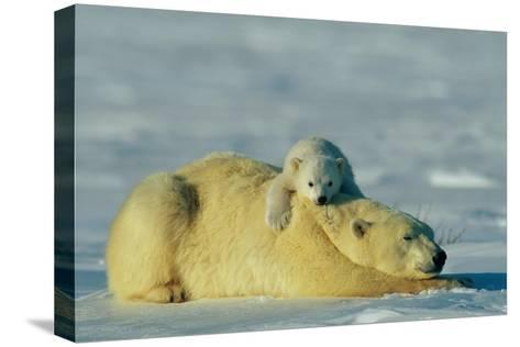 This Young Polar Bear (Ursus Maritimus) Cub Rests Comfortably Atop the Back of His Mother-Norbert Rosing-Stretched Canvas Print