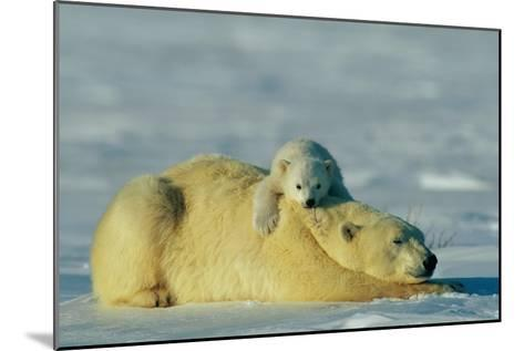 This Young Polar Bear (Ursus Maritimus) Cub Rests Comfortably Atop the Back of His Mother-Norbert Rosing-Mounted Photographic Print