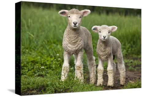 Portrait of Two Cute Baby Sibling Romney Lambs in a Green Pasture-Karine Aigner-Stretched Canvas Print