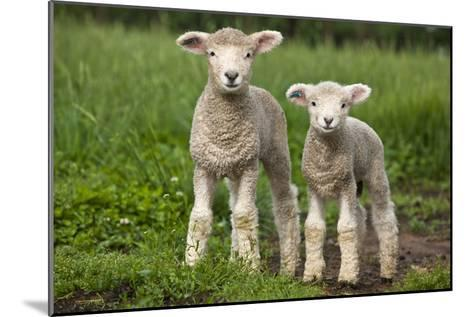 Portrait of Two Cute Baby Sibling Romney Lambs in a Green Pasture-Karine Aigner-Mounted Photographic Print