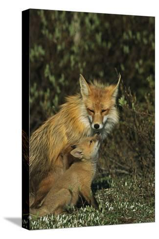 A Red Fox Mother and Her Pup-Norbert Rosing-Stretched Canvas Print