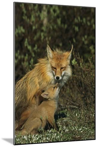 A Red Fox Mother and Her Pup-Norbert Rosing-Mounted Photographic Print