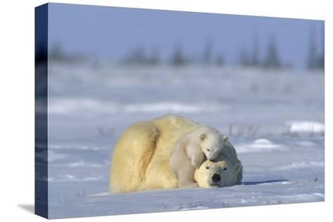 A Polar Bear Cub Plays with It's Resting Mother. Ursus Maritimu-Norbert Rosing-Stretched Canvas Print