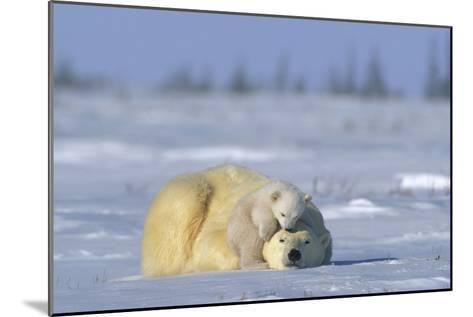 A Polar Bear Cub Plays with It's Resting Mother. Ursus Maritimu-Norbert Rosing-Mounted Photographic Print