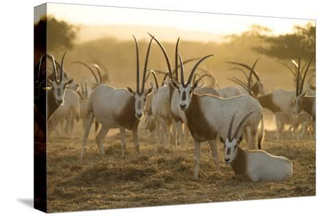 A Herd of Scimitar-horned Oryx On the Sir Bani Yas Island Reserve-Ira Block-Stretched Canvas Print