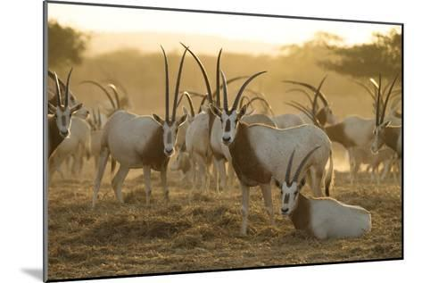 A Herd of Scimitar-horned Oryx On the Sir Bani Yas Island Reserve-Ira Block-Mounted Photographic Print