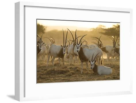 A Herd of Scimitar-horned Oryx On the Sir Bani Yas Island Reserve-Ira Block-Framed Art Print