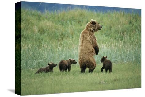 An Alaskan Brown Bear Stands Up to Look Out for Any Danger As She Protects Her Three Cubs-Roy Toft-Stretched Canvas Print