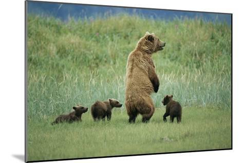 An Alaskan Brown Bear Stands Up to Look Out for Any Danger As She Protects Her Three Cubs-Roy Toft-Mounted Photographic Print