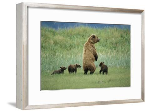 An Alaskan Brown Bear Stands Up to Look Out for Any Danger As She Protects Her Three Cubs-Roy Toft-Framed Art Print