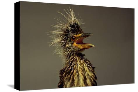 A Juvenile Black-crowned Night Heron-Scott Sroka-Stretched Canvas Print