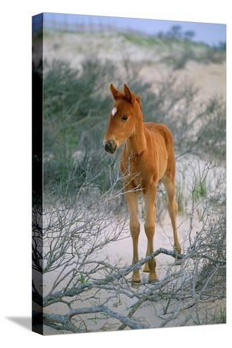 A Wild Pony On the Beach At Chincoteague Island-Scott Sroka-Stretched Canvas Print