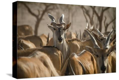 A Taurotragus Oryx Stands Out From the Crowd-Ira Block-Stretched Canvas Print
