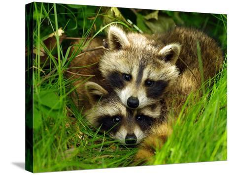 A Portrait of Two Raccoon Kits in Grass-Terri Moore-Stretched Canvas Print