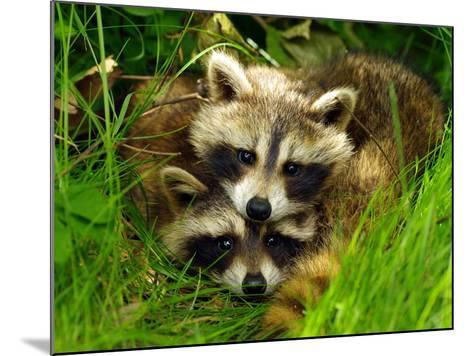 A Portrait of Two Raccoon Kits in Grass-Terri Moore-Mounted Photographic Print