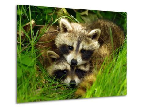 A Portrait of Two Raccoon Kits in Grass-Terri Moore-Metal Print