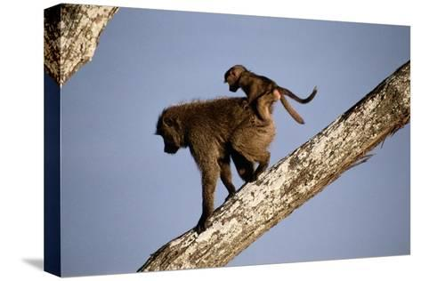 A Mother Olive Baboon (Papio Anubis) Carries Her Baby On Her Back As She Climbs Down a Tree-Tim Laman-Stretched Canvas Print