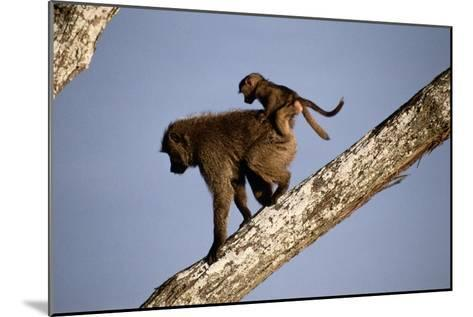 A Mother Olive Baboon (Papio Anubis) Carries Her Baby On Her Back As She Climbs Down a Tree-Tim Laman-Mounted Photographic Print