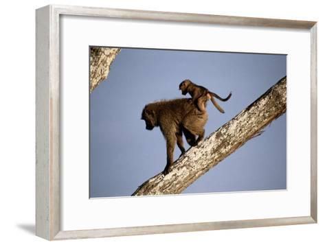 A Mother Olive Baboon (Papio Anubis) Carries Her Baby On Her Back As She Climbs Down a Tree-Tim Laman-Framed Art Print