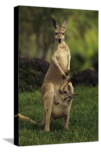 A Captive Red Kangaroo (Macropus Rufus) Mother Carrying Her Young in Her Pouch-Tim Laman-Stretched Canvas Print