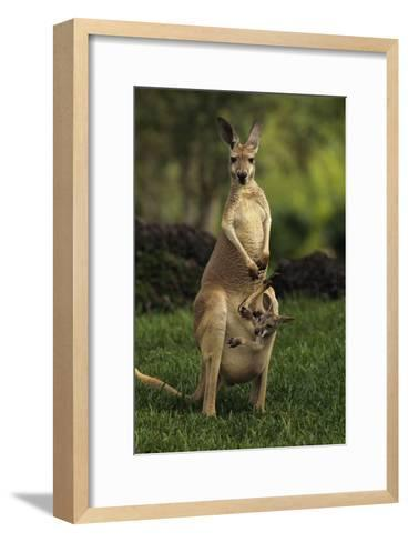 A Captive Red Kangaroo (Macropus Rufus) Mother Carrying Her Young in Her Pouch-Tim Laman-Framed Art Print