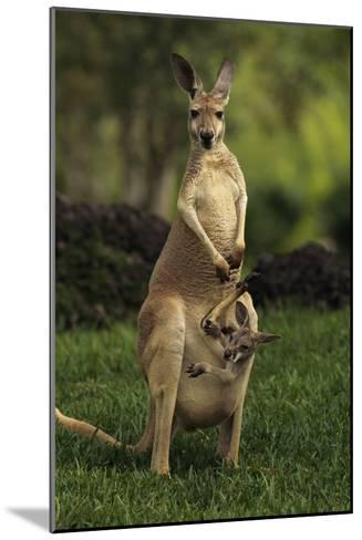 A Captive Red Kangaroo (Macropus Rufus) Mother Carrying Her Young in Her Pouch-Tim Laman-Mounted Photographic Print
