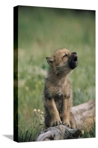 A Wolf Pup (captive) Sits Up and Howls (Canis Species)-Tom Murphy-Stretched Canvas Print
