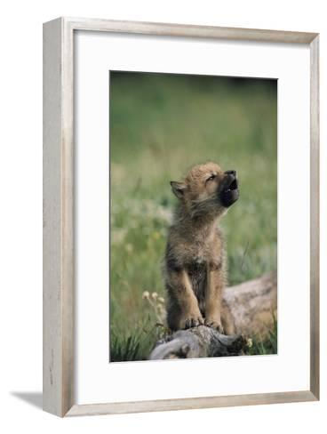 A Wolf Pup (captive) Sits Up and Howls (Canis Species)-Tom Murphy-Framed Art Print