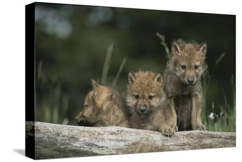 A Trio of Captive Wolf Pups  Stand Behind a Fallen Tree Trunk-Tom Murphy-Stretched Canvas Print