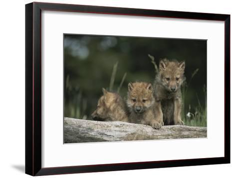 A Trio of Captive Wolf Pups  Stand Behind a Fallen Tree Trunk-Tom Murphy-Framed Art Print