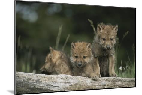 A Trio of Captive Wolf Pups  Stand Behind a Fallen Tree Trunk-Tom Murphy-Mounted Photographic Print