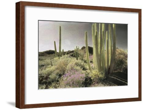 Wildflowers Blooom Among Cactus in a Desert Landscape-Annie Griffiths-Framed Art Print