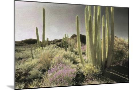 Wildflowers Blooom Among Cactus in a Desert Landscape-Annie Griffiths-Mounted Photographic Print