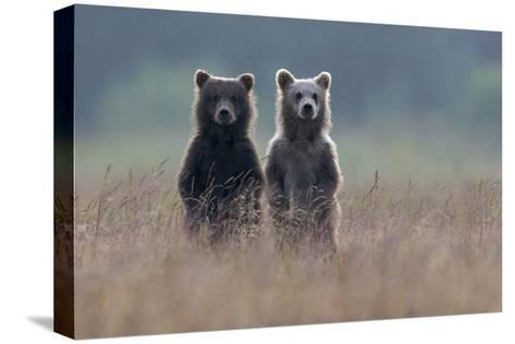 Two Brown Bear Spring Cubs Standing Side-by-side in Curiosity-Barrett Hedges-Stretched Canvas Print