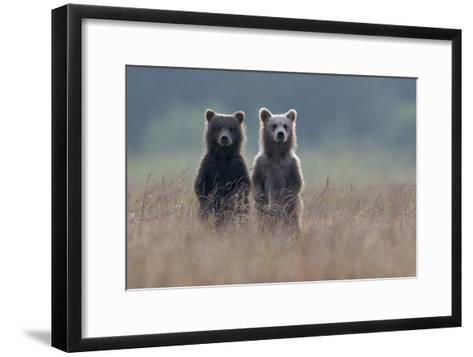 Two Brown Bear Spring Cubs Standing Side-by-side in Curiosity-Barrett Hedges-Framed Art Print