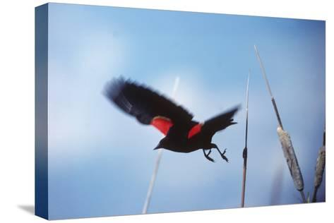 A Red-winged Blackbird, Agelaius Phoeniceus, in Cattails-Bates Littlehales-Stretched Canvas Print