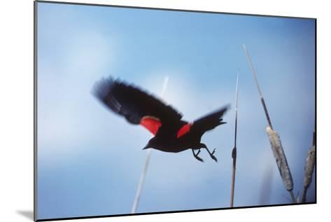 A Red-winged Blackbird, Agelaius Phoeniceus, in Cattails-Bates Littlehales-Mounted Photographic Print