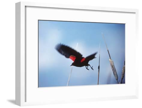A Red-winged Blackbird, Agelaius Phoeniceus, in Cattails-Bates Littlehales-Framed Art Print